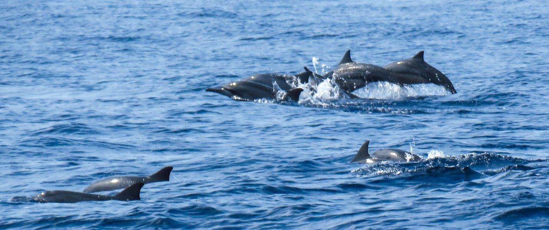 Dolphin spotting at Calangute - Tour