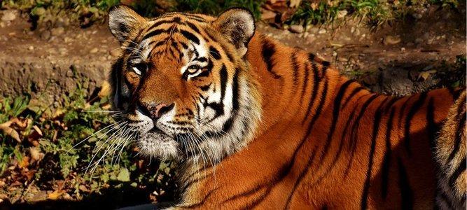 Tadoba Wildlife Jungle Safari