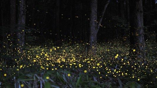 Purushwadi Fireflies Festival 2019