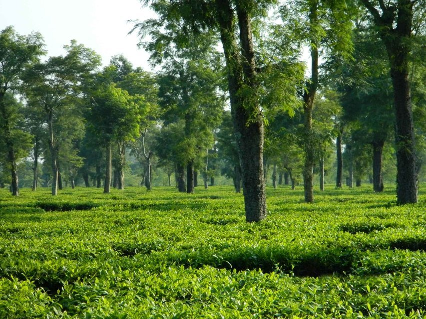 Tea Tasting and Golfing Tour in Assam - Tour