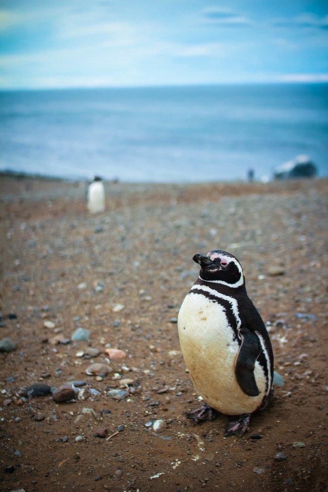 Pingüinera Isla Magdalena - Tour