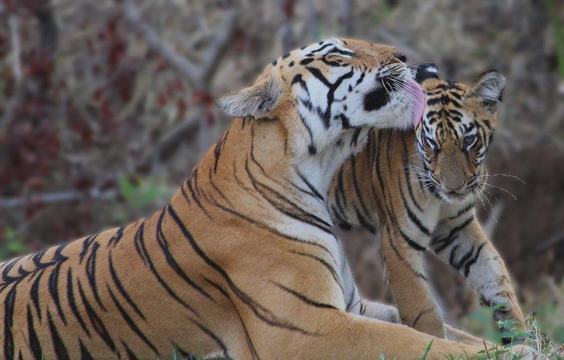 Tadoba Wildlife Tour - Tour
