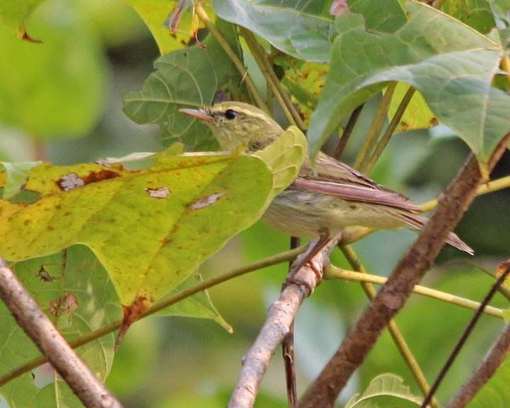 0000warbler_-_greenish_-_india_goa_-_arpora_woods_-_13nov27_-_10-9133