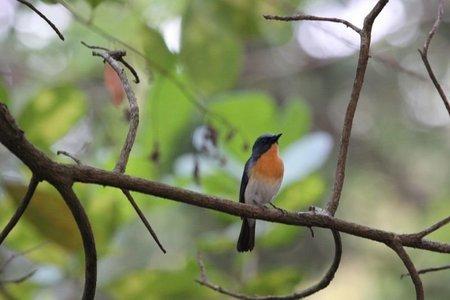 Ruby-throated-bulbul-the-state-bird-of-goa