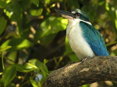 30-white-collared-kingfisher1
