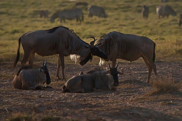 Kenya and Tanzania Safaris - Collection