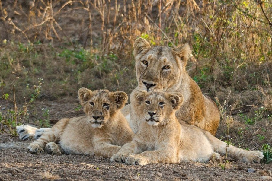 GIR LION SAFARI - Tour