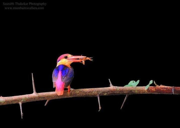 Wildlife Photomania : In search of Oriental Dwarf Kingfisher - Tour