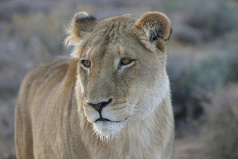 Lion Park Tour,  Sightseeing in Johannesburg - Tour