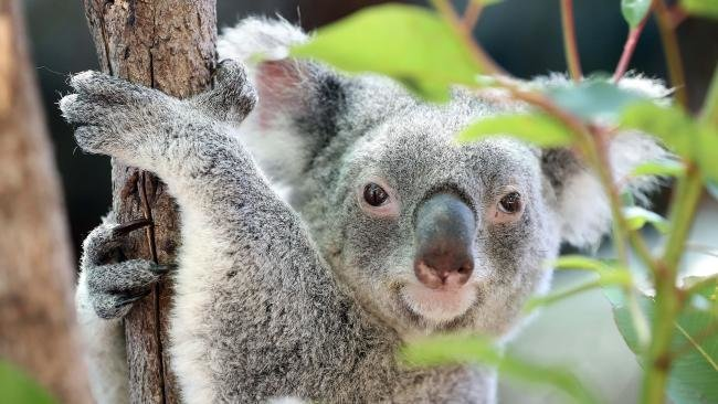 Maru Koala Park Tickets in Melbourne - Tour