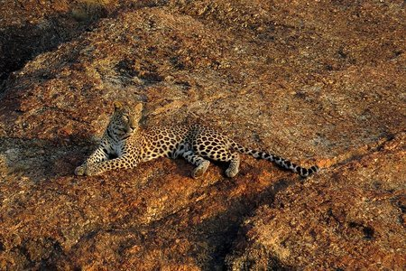 Bera - Leopards of Jawai (Ex - Ahmedabad)