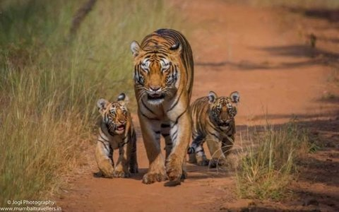 Tadoba Wildlife Safari