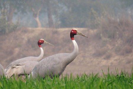 Bharatpur-Chambal Birding Tour