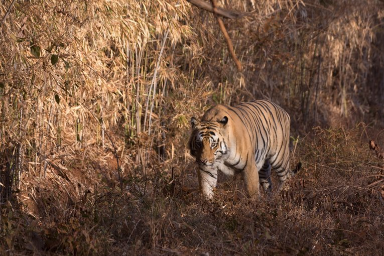 Tadoba Tiger Safari - Tour