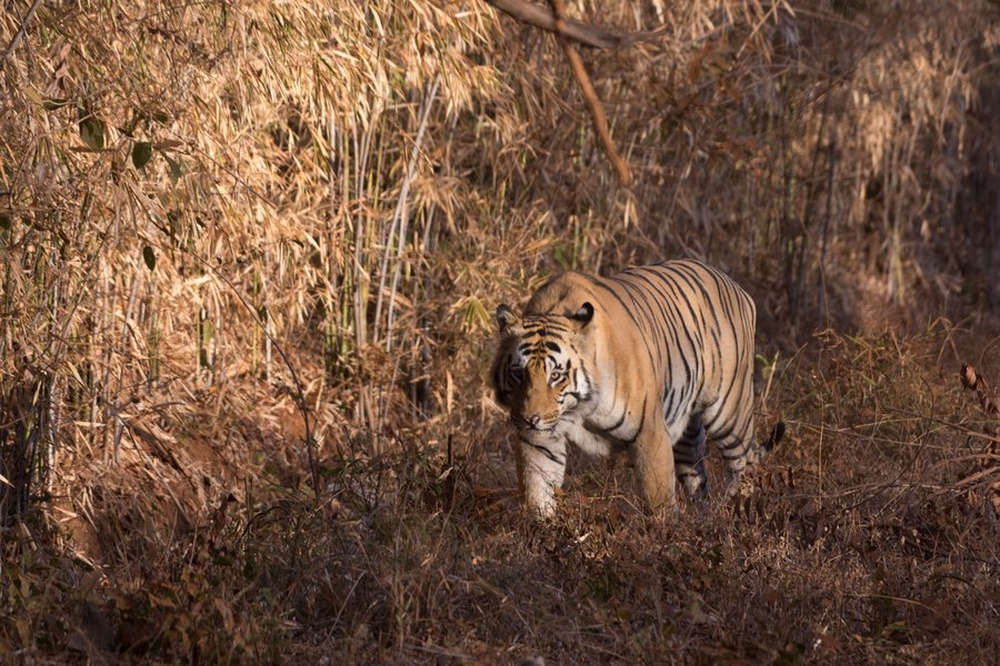 Tiger Safari - Tadoba National Park - Tour