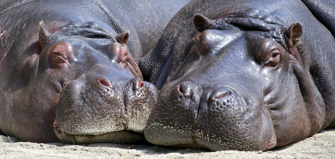 hippo_on_african_tour.jpg - description