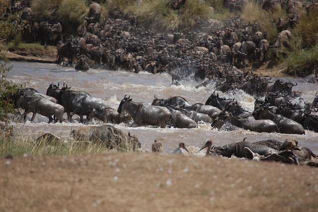 The Great Migration Safari - River Crossing, August to October - Tour
