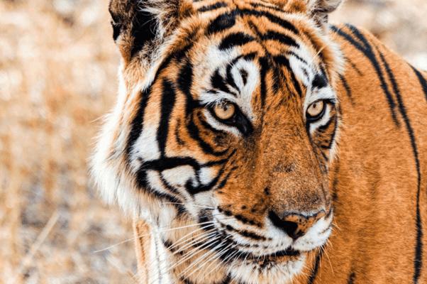 Temple, Tiger & Taj - Tour