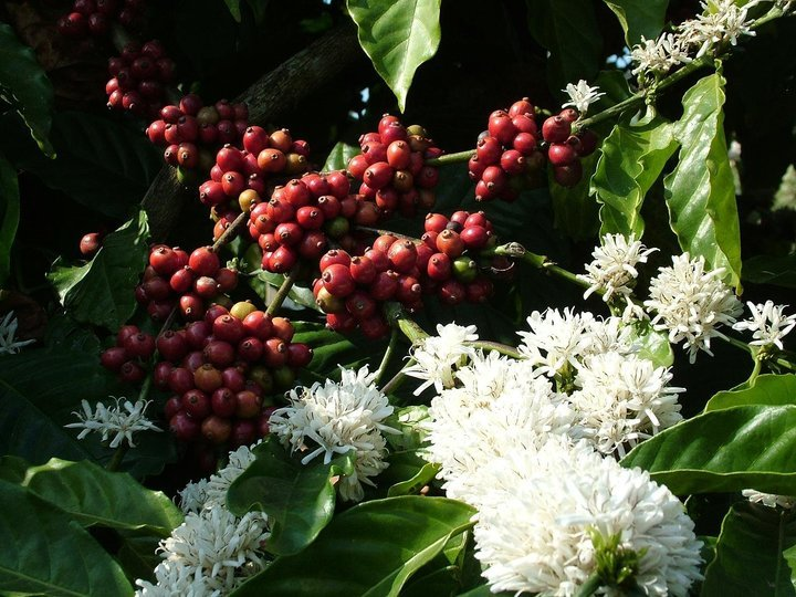 Coffee Plantation Tour (Coorg) - Tour