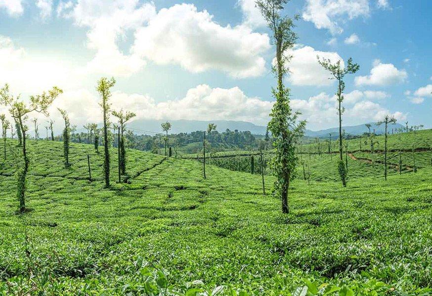 Coffee Plantation | Estate View | Coffee Estate | Coorg Tour