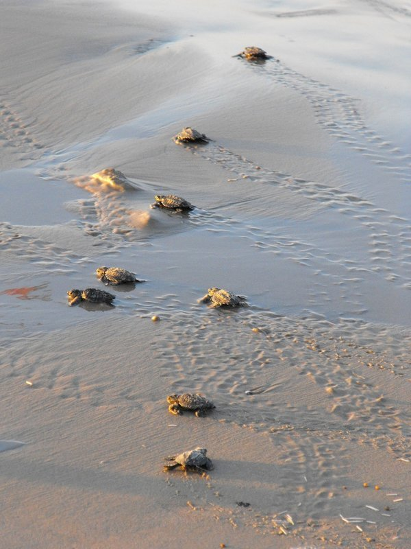 Velas Turtle Festival 2020 From Mumbai by Bus | Adventure Geek - Tour