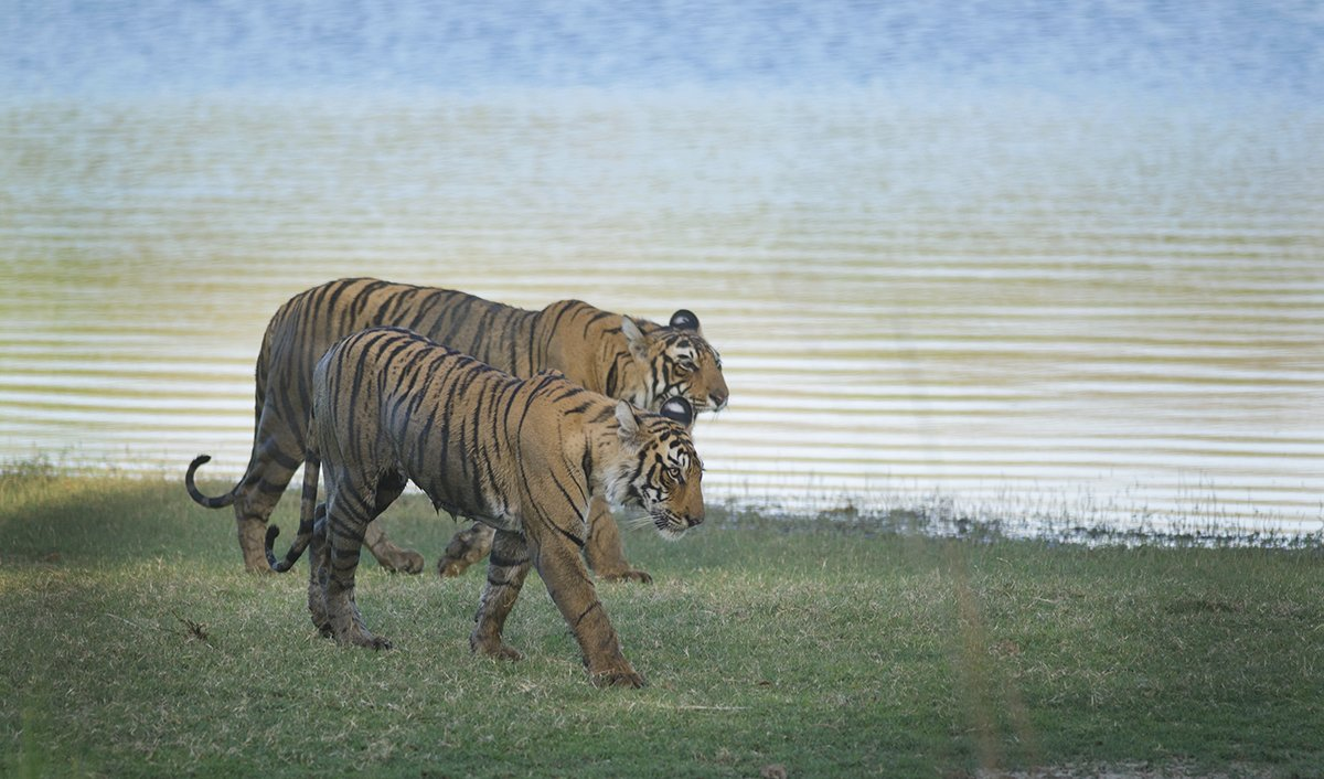 Ranthambhore Tiger Reserve - Collection