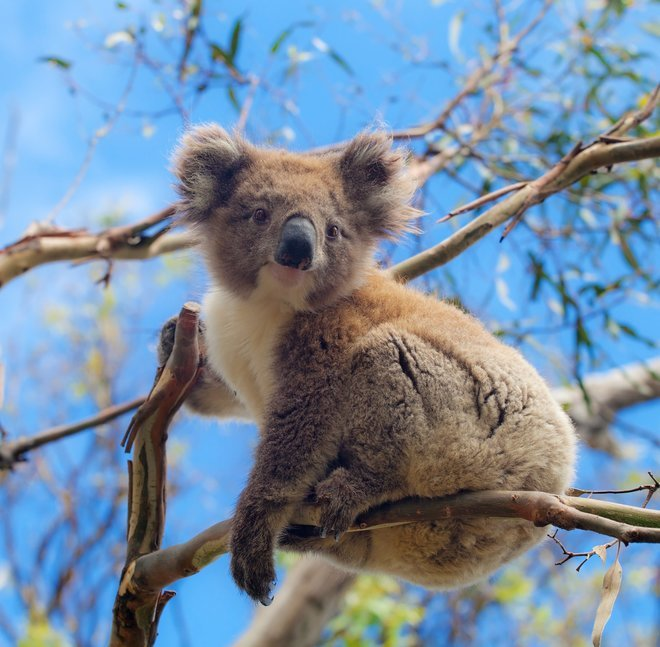 Koala, Great Ocean Road, Australia