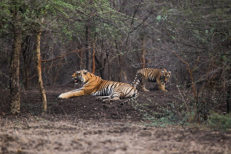Ranthambhore National Park and Jhalana - Tour