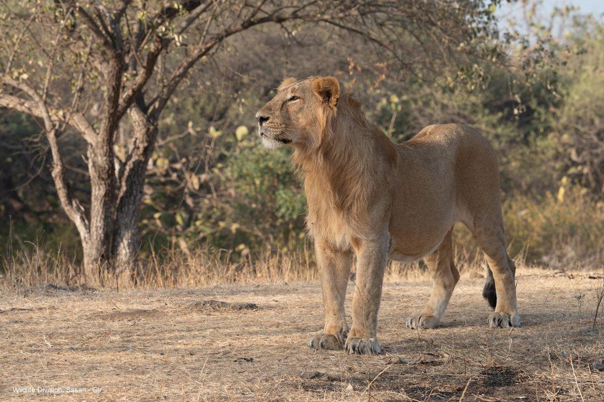 Gir Lion Safari | T Trikon