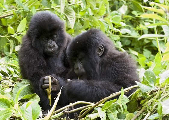 Gorilla Trekking - Tour