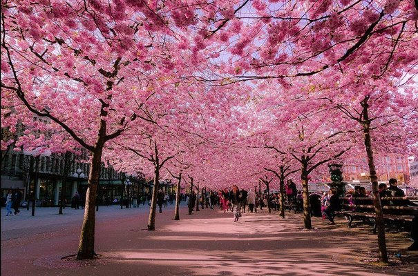Cherry Blossom Japan with Flights - Tour